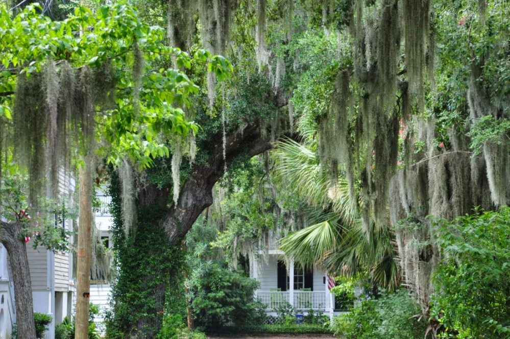 South Carolina : Beaufort  spanish moss