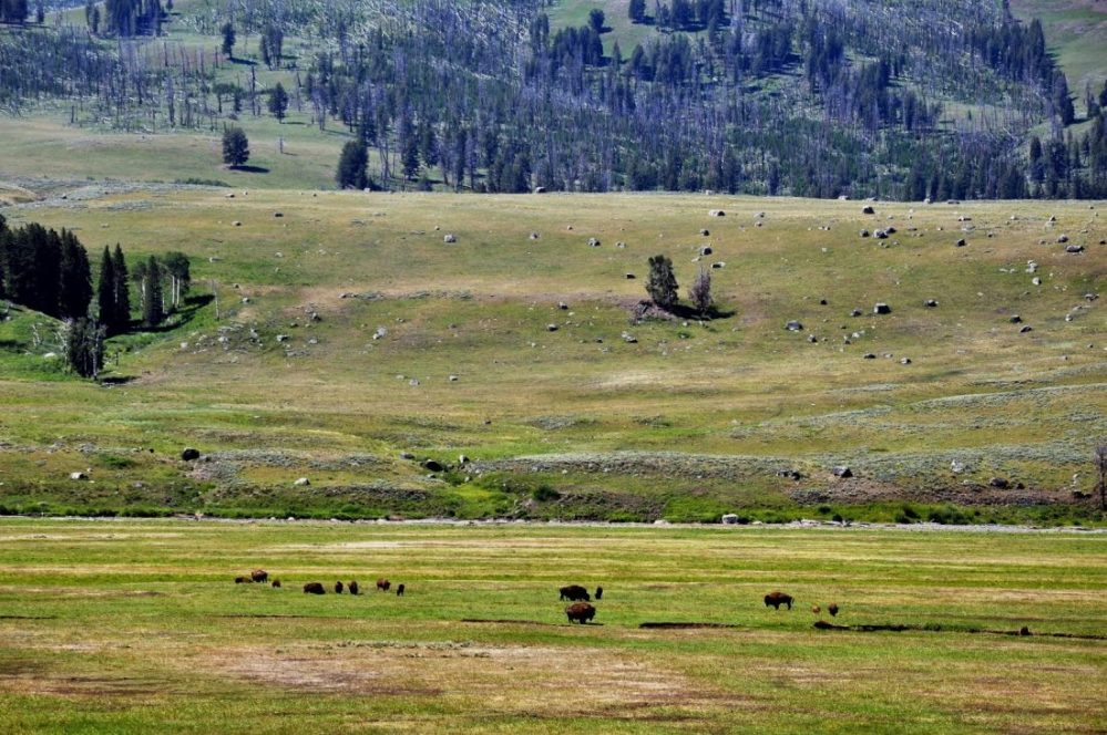 Yellowstone : Lamar Valley
