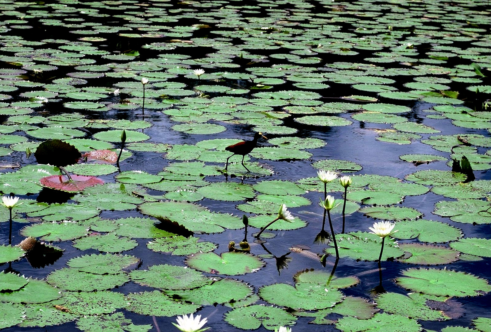 Lamanai River Tours : Jesus Bird