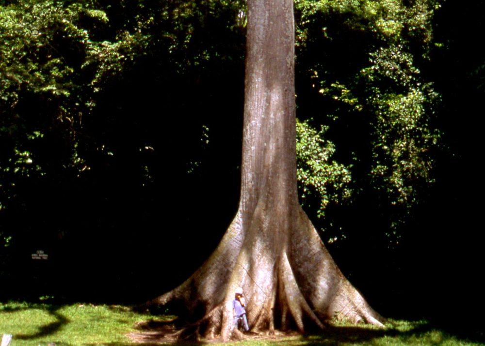 Tikal National Park Ceiba tree
