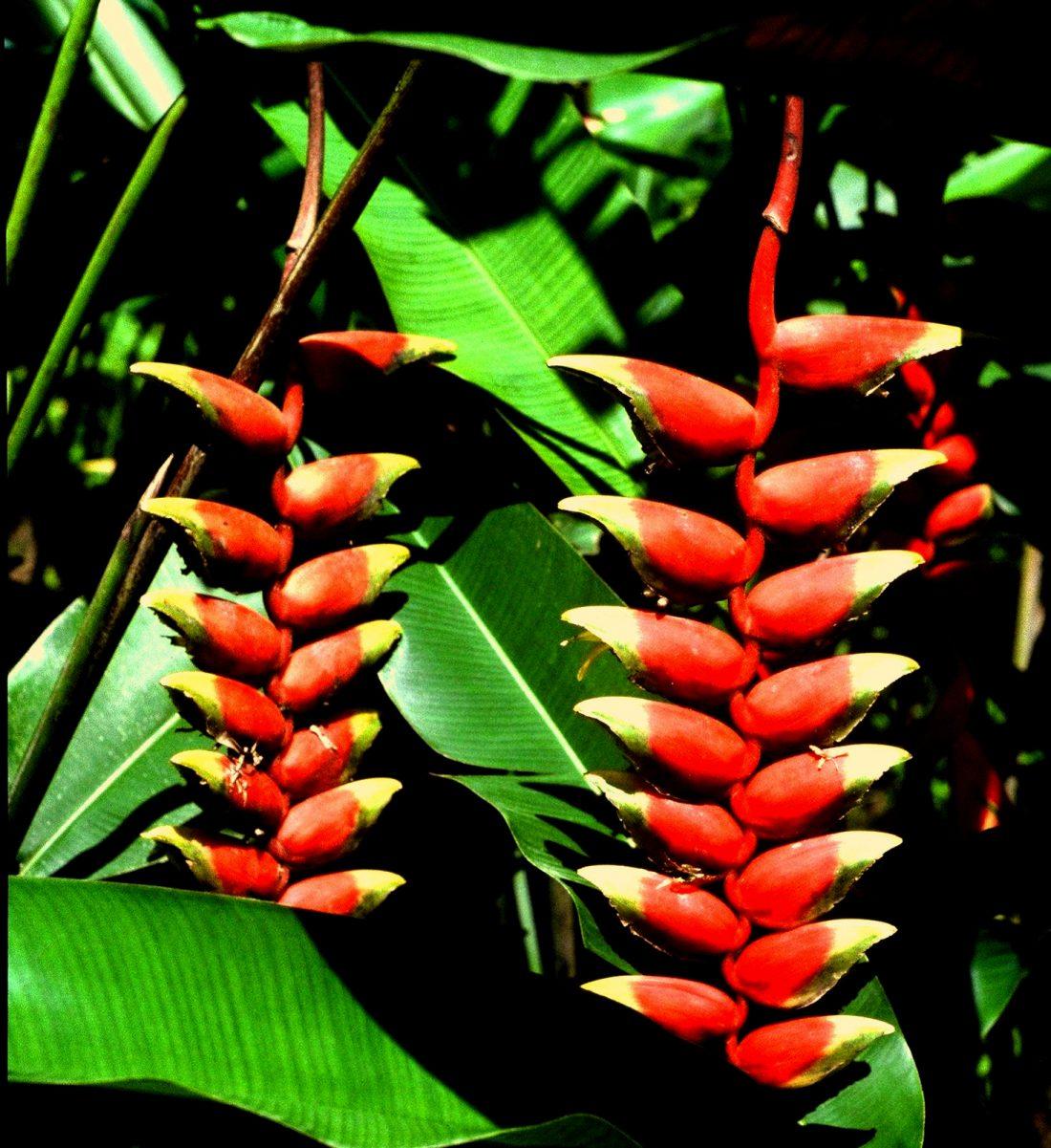 Martinique : l'Ile aux fleurs