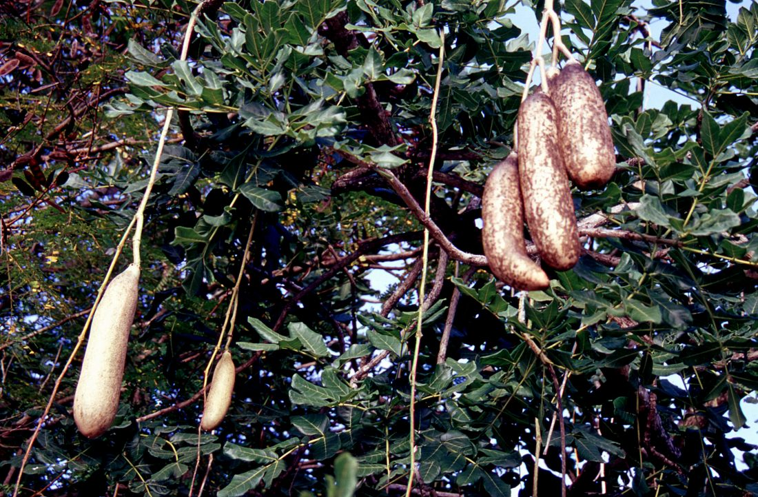 Marie Galante : arbre saucissons