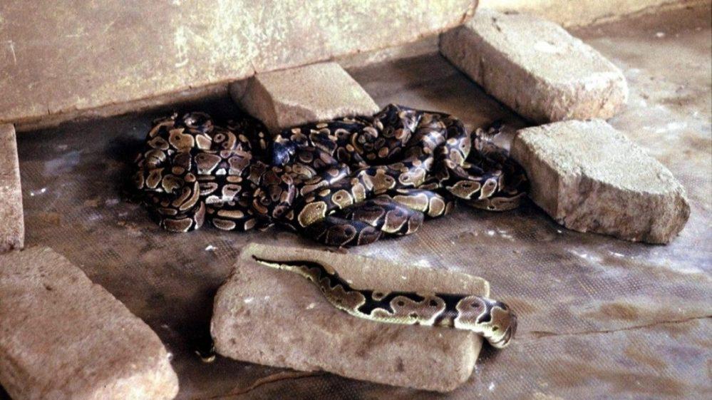 Ouidah : python sacré Dangbé