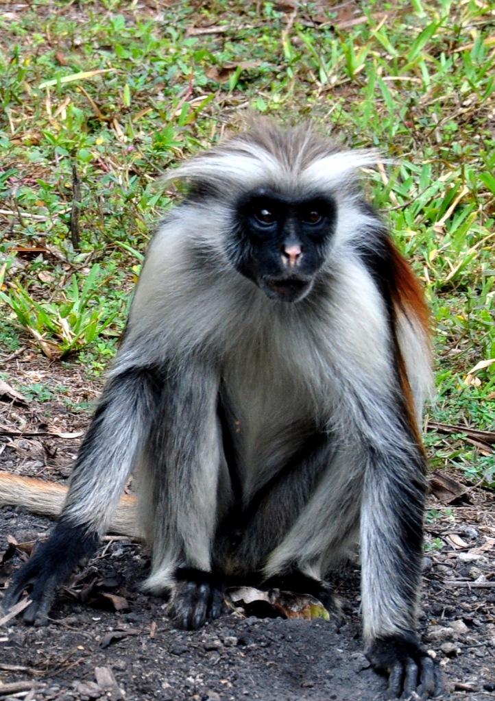 Zanzibar : Jozani Forest