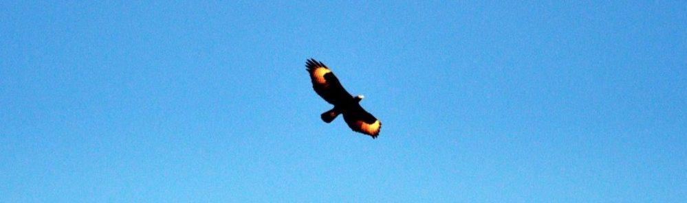 South Africa : Goegap Nature Reserve (Verreaux's Eagle ?)