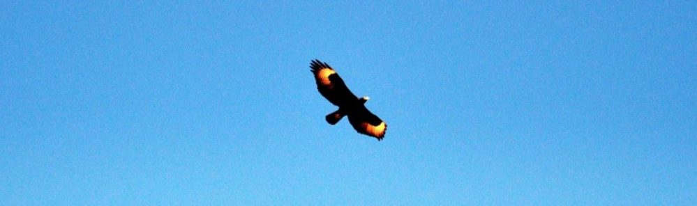 South Africa : Goegap Nature Reserve (Verreaux's Eagle ?)