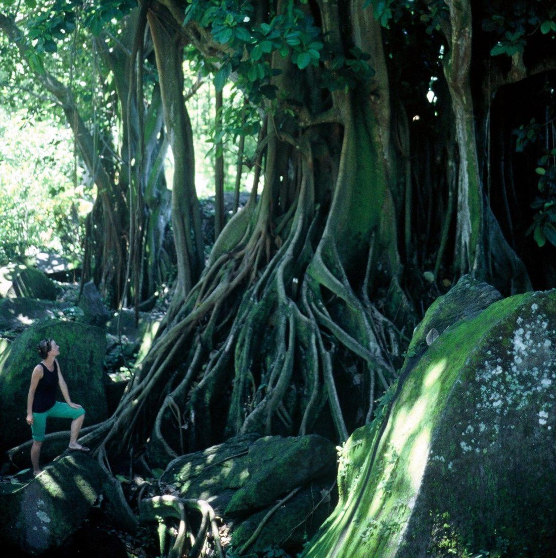 Guadeloupe : Parc archéologique des Roches gravées (figuier étrangleur)