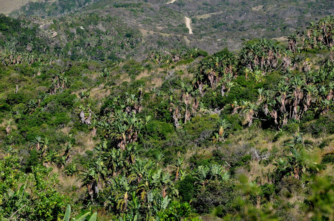 Hluleka Nature Reserve : indigenous forest