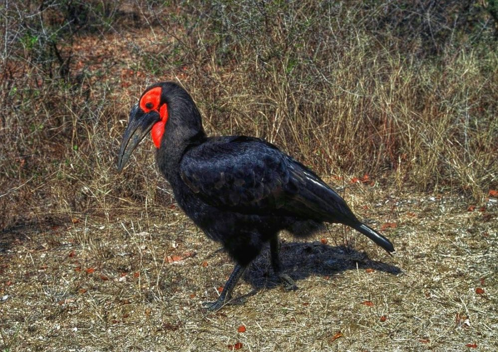 Kruger Park : Ground Hornbil