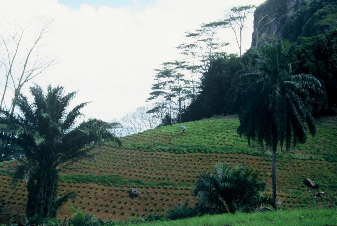 Seychelles Mahé : Tea Factory