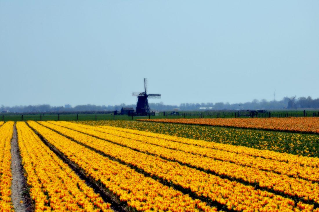 Noord Holland : Tulpen iin Egmond aan den Hoef