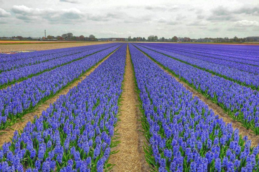 Zuid Holland : buite Keukenho