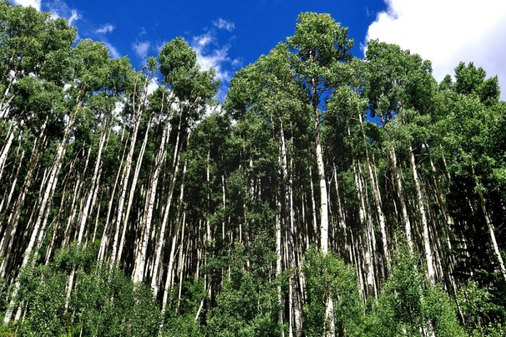 Colorado : Aspen Trees